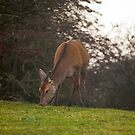 Deer by Billy Hodgkins