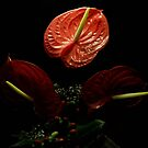Anthurium by Gasparedes