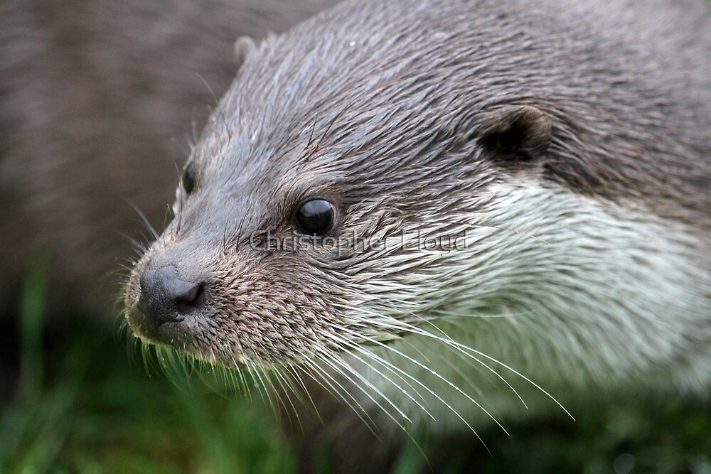 Otter Portrait by Christopher Lloyd