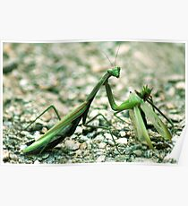 Female praying mantis eating male one Poster