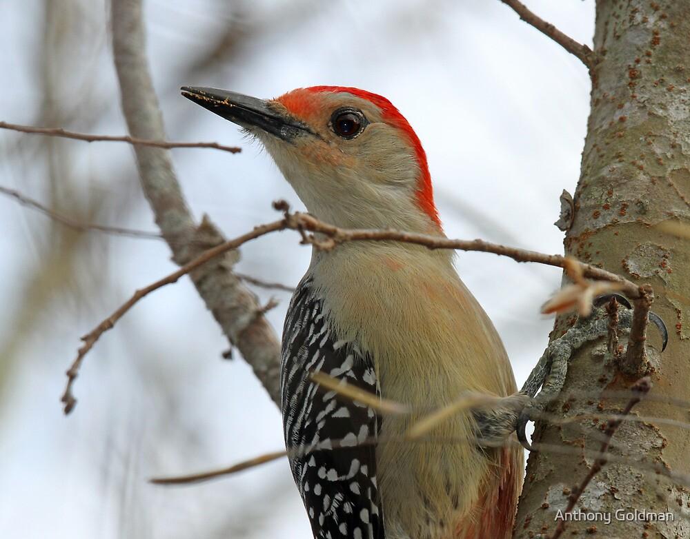Red bellied woodpecker profile by jozi1