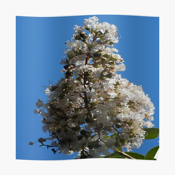 White Crepe Myrtle In Lock Down Poster