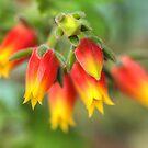 A Blooming Echeveria by Michael Matthews