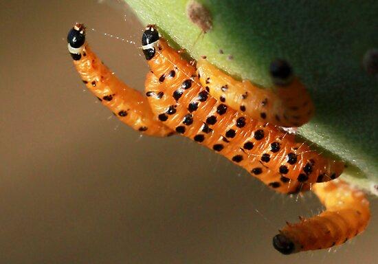 Cactoblastis cactorum  by Rina Greeff