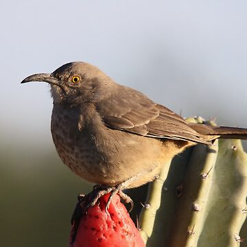 Curve-billed Thrasher by wildshots