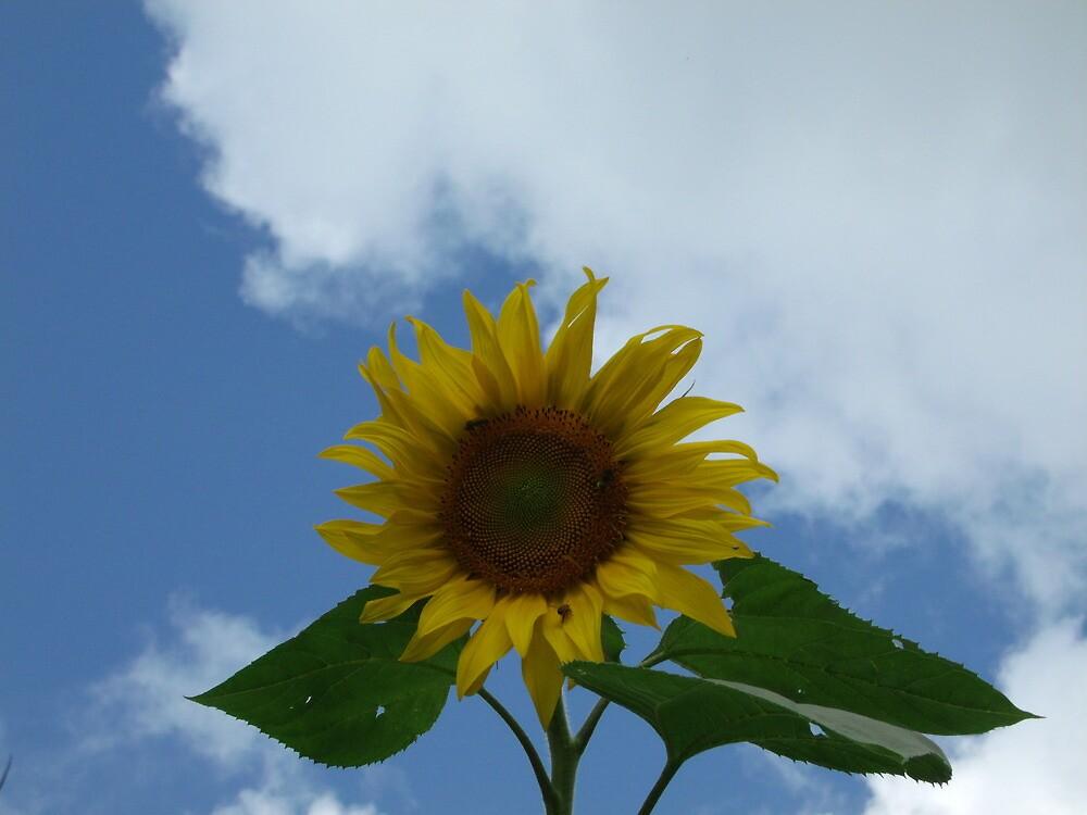 Sunflower against sky by agrusag