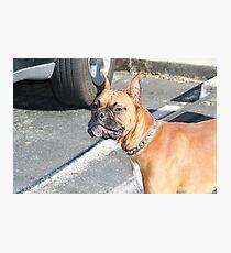 Boxer Dog Photographic Print