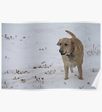 Yellow Lab in the Snow Poster