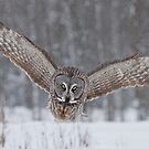 Great Gray Owl Moving In... by Daniel Cadieux