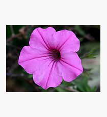 Perfect Pink Petunia Photographic Print