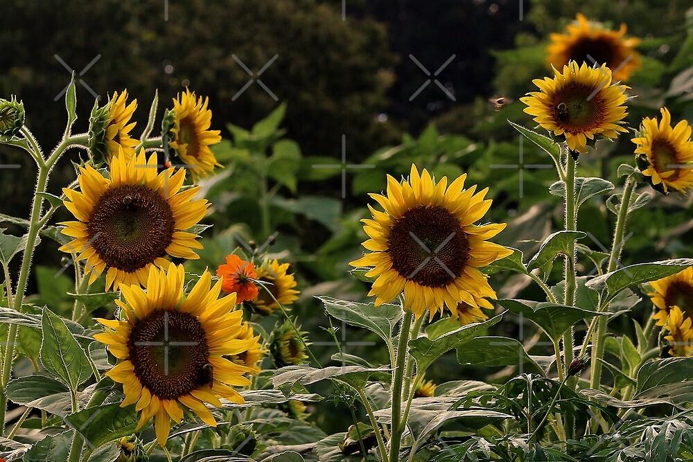 Sunflower  by BerryvineImage
