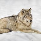 Timberwolf at Rest by Daniel  Parent