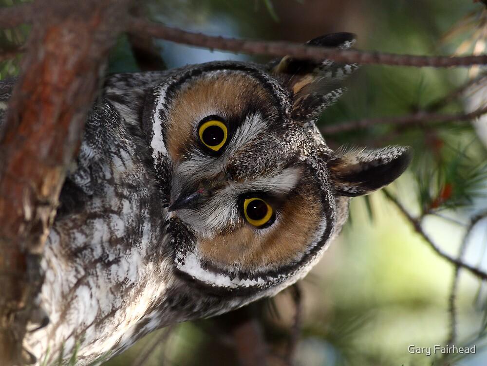 Long Eared Owl by Gary Fairhead