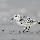 Sanderling by (Tallow) Dave  Van de Laar