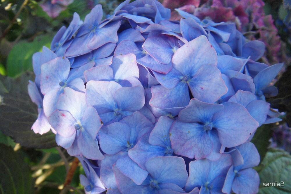 Blue Hydrangea by sarnia2