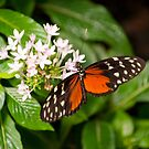 Monarch Butterfly by Dfilyagin