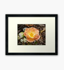 Peach Bloom Framed Print