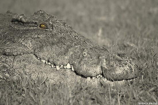 Chobe Croc in black & white by Donald  Mavor