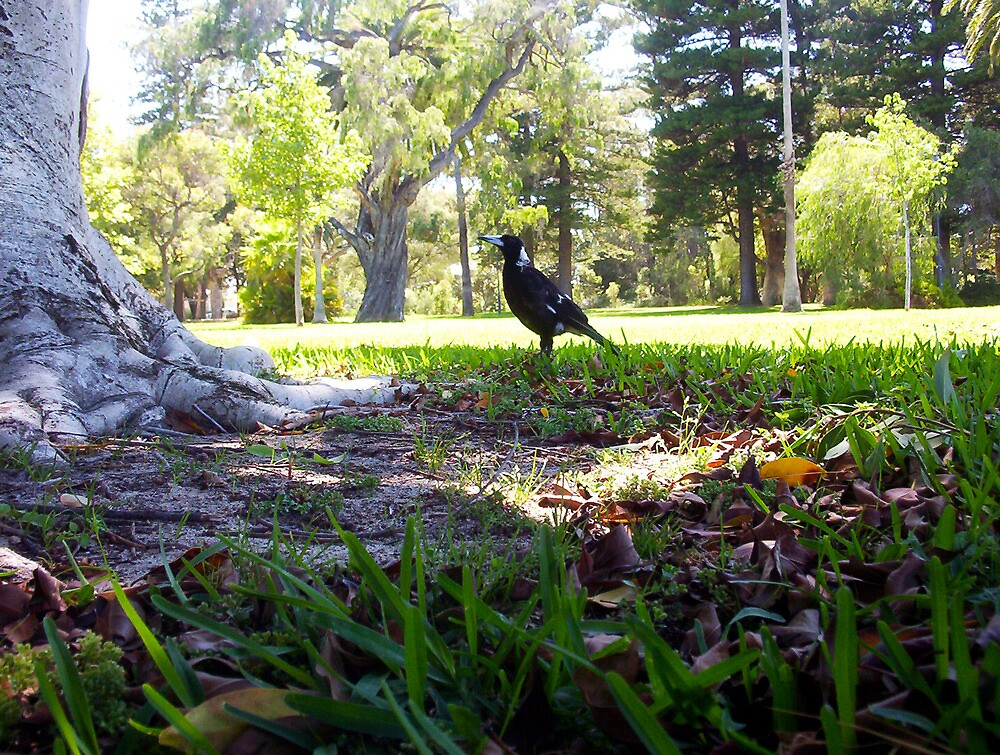 Proud Magpie - 06 01 13 by Robert Phillips
