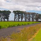 Windbreak, Asparagus Farm, Cardinia, Gippsland, Victoria. by johnrf