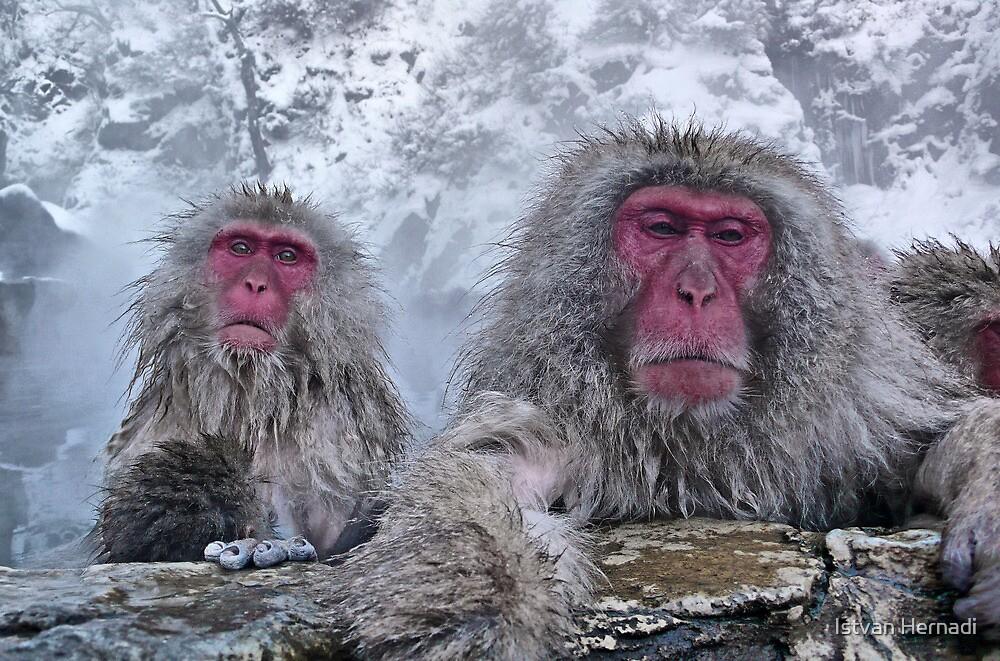 Snow monkeys relaxing in the hot springs by Istvan Hernadi