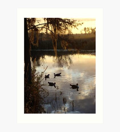 MUSCOVY DRAKES ON ECONFINA CREEK Art Print