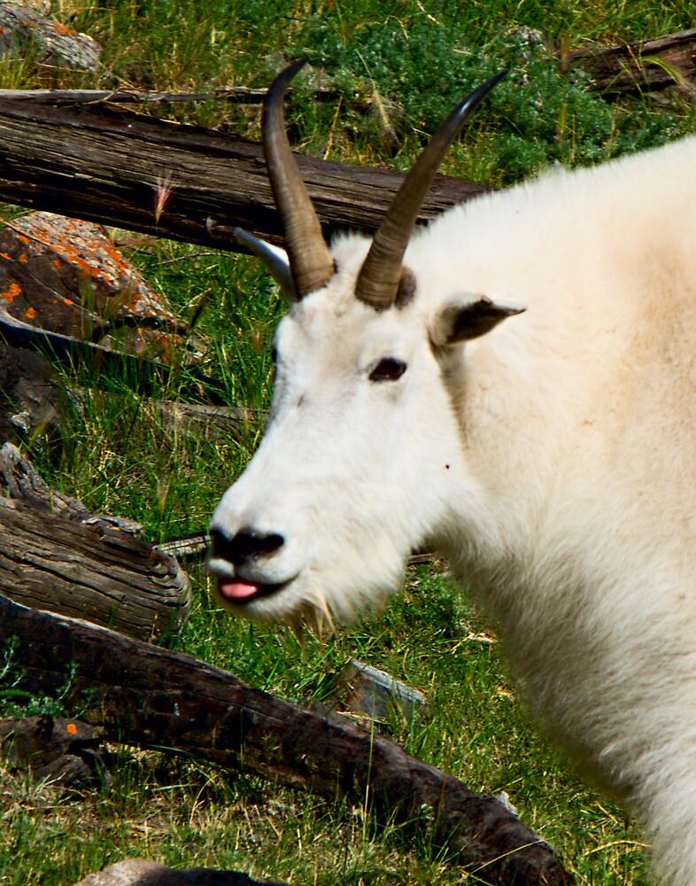 Rocky Mountin Goat (Oreamnos americanus) by Yukondick