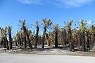 Charred Palm Trees, Honeymoon Island State Park by AuntDot