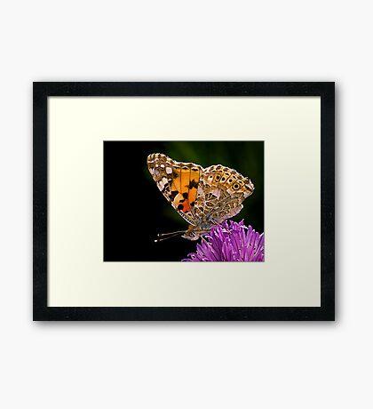 Butterfly - Vanessa Cardui Framed Print