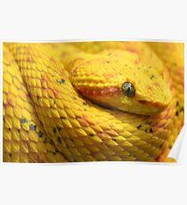 Eyelash Viper (Bothriechis schlegelii) Poster