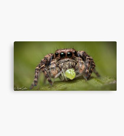 (Servaea vestita) Jumping Spider #4 Canvas Print