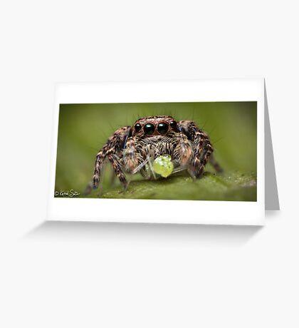 (Servaea vestita) Jumping Spider #4 Greeting Card