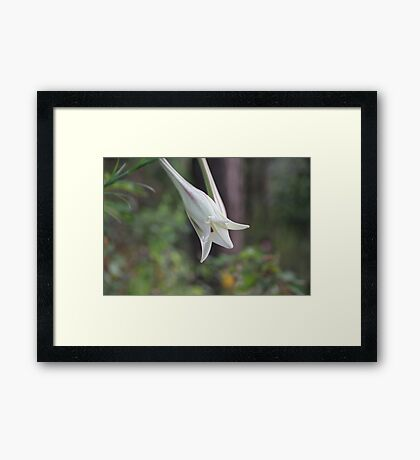 Wild Lily Ready to Open Framed Print