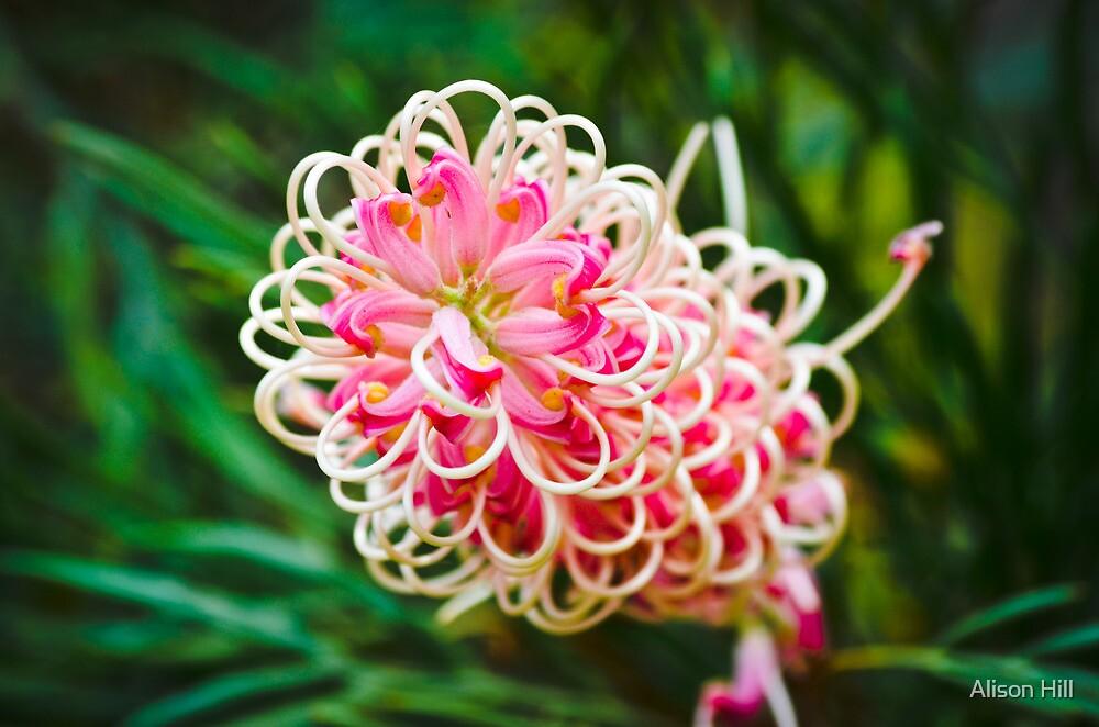 Pink Grevillea Majestic by Alison Hill