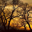 Dancing Trees Golden Sunset by Bo Insogna