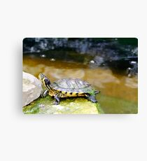 Yellow Bellied Slider Turtle Canvas Print