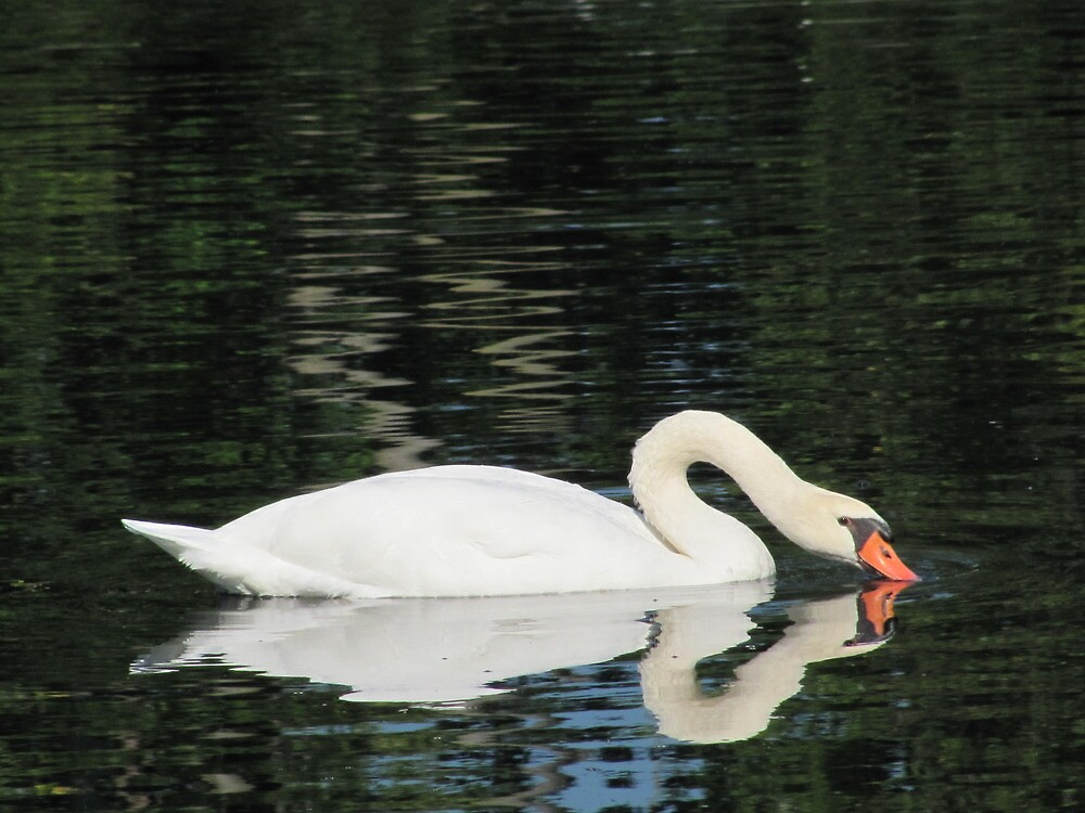 Swan at Schedel Gardens by rebeccann