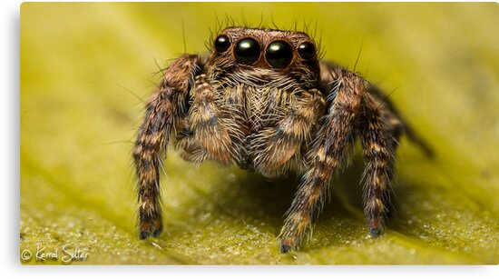 (Servaea vestita) Jumping Spider #5 (focus Stacked) by Kerrod Sulter