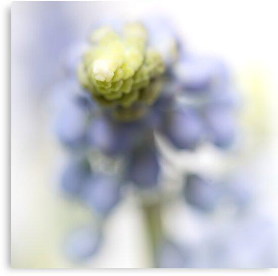Grape Hyacinth III (abstraction) by Bob Daalder
