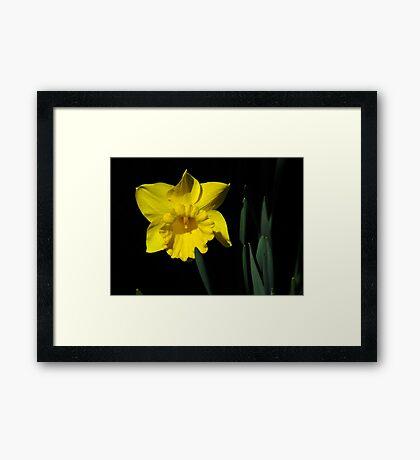 The Daffodil Framed Print