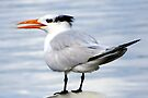 Royal Tern at Cedar Key by AuntDot