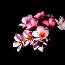 Pink Frangipani Flowers-3235 by Barbara Harris