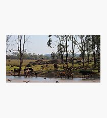 QLD waterhole - birds and cattle Photographic Print