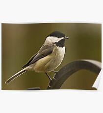 Carolina Chickadee Poster
