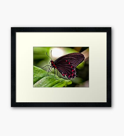 Velvet Rose Swallowtail  Framed Print