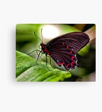 Velvet Rose Swallowtail  Canvas Print