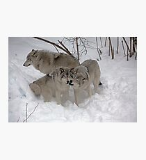 Wolf endearment  Photographic Print