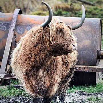 Highland Cow by Zedder