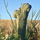 Crested or Crystate Saguaro  by Penny Fawver