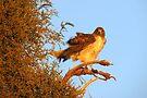 Red-tailed Hawk at Sunset by Kimberly Chadwick